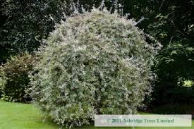 pyrus salicifolia pendula trees for sale weeping pear