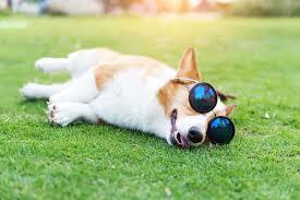 affenpinscher a donner 10 great ways to celebrate your dog u0027s birthday u2013 iheartdogs com