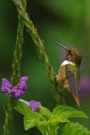 Hummingbird Plant 438 Best Hummingbirds Images On Pinterest Humming Birds
