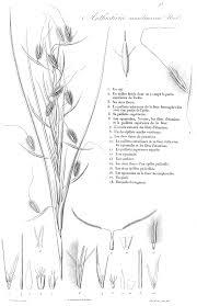 grass genera of the world themeda forssk