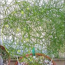 climbing sea onion bowiea u2013 easy to grow bulbs