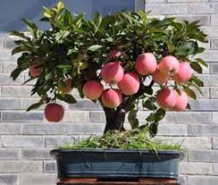 When Does A Lemon Tree Produce Fruit - growing apple bonsai youtube