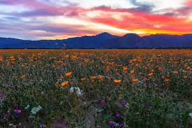 anza borrego best time to see anza borrego desert super bloom in california 2018