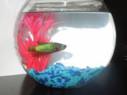 Beta Fish In Vase Introducing Bob The Betta Fish Charlotte U0027s Journey Home