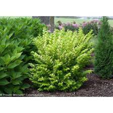 Small Shrubs For Front Yard - shrubs trees u0026 bushes the home depot
