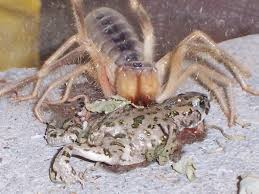 Camel Spider Eating a frog