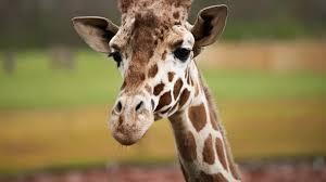 columbus zoo and aquarium giraffe feeding