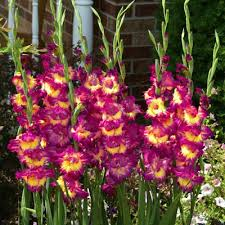 gladiolus flower gladiolus time harris seeds