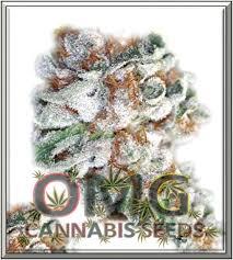 kush berry feminised cannabis seeds world shipping