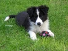 incrocio border collie x australian shepherd cuccioli border collie animali e accessori per animali kijiji