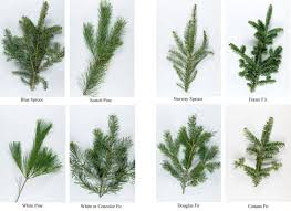 100 types trees most fragrant bh fraser fir flip
