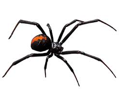 Black Widow Spiders Had A - content providence health services alaska