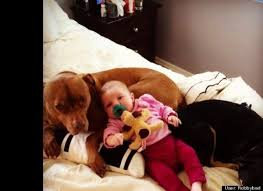 american pitbull terrier z hter deutschland pit bull credited for protecting owner from domestic violence is