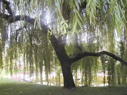 wiccan moonsong willow tree spell