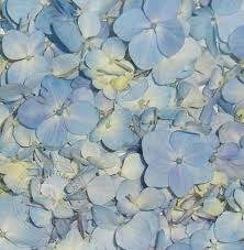 where can i buy petals buy flower petals petals and hydgrangea petals bloomingmore