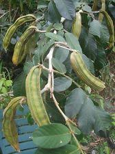 Tropical Fruit Tree Nursery - tropical fruit list buy fruit trees tropical fruit tree nursery