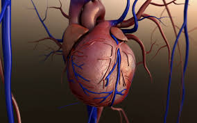 Male And Female Anatomy Differences Male And Female Hearts Grow Old In Different Ways