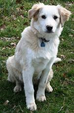 australian shepherd and lab mix care adoptable animals