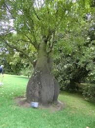 bottle tree at royal botanical gardens melbourne by mrwilliamsii