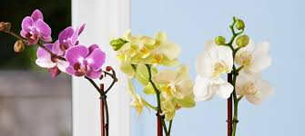 orchids pictures types of orchids phalaenopsis and dendrobiums proflowers