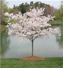 yoshino cherry tree is common in the landscape the