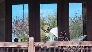 dallas zoo lions kill lioness nbc 5 dallas fort worth