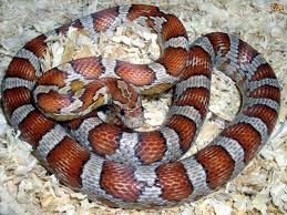 10 ways to keep your corn snake happy pets4homes