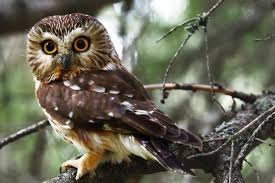 northern saw whet owl audubon field guide