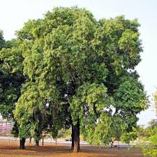 what are some of the best fast growing trees for both shade and