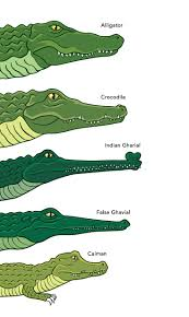 best 25 alligators ideas only on pinterest meaning of predator