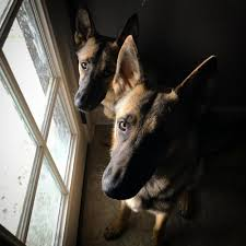 belgian malinois size at 6 months zeus and athena 11 months old german shepherd dog forums