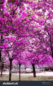cherry blossom trees garden stock photo 136329218 shutterstock