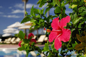 which state has a hibiscus the best plants for swimming pool landscaping