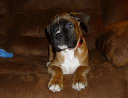 boxer dog 2015 tanoak boxers breeder of boxer dogs ontario