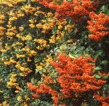 Fragrant Climbing Plants - creeping plants for shade your guide to creeping jenny sunset