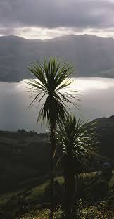 native new zealand plants list 28 best cabbage trees of new zealand images on pinterest new
