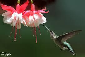 hummingbird flowers the ultimate dining guide for hummingbirds garden harvest supply