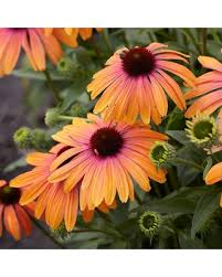 echinacea flower sweet deal on echinacea butterfly rainbow marcella coneflower
