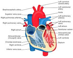 Vascular Anatomy Of The Brain The Heart Boundless Anatomy And Physiology