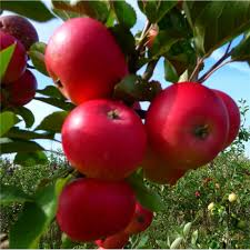 Patio Fruit Trees Uk by Discovery Apple Tree Buy Apple Trees Purchase Apple Fruit Trees