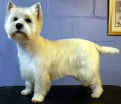 images of westie hair cuts one fine canine pictures