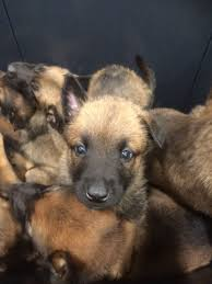 belgian sheepdog breeds belgian shepherd pups huddersfield west yorkshire pets4homes