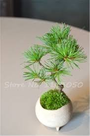 compare prices on blue pine seed online shopping buy low price