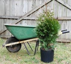 thuja green evergreen privacy trees