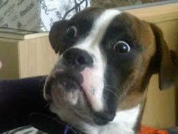 Suprised Meme - surprised dog meme generator omg they can fly e2e43c unimelb