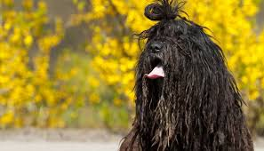 affenpinscher how much do they cost 30 healthiest dog breeds that live the longest