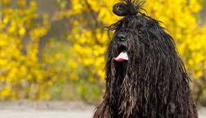 affenpinscher vs german shepherd 30 healthiest dog breeds that live the longest