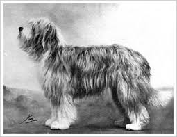 bearded collie mini untitled document