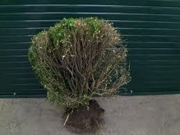woody ornamental plants c wayne ellett plant and pest