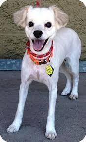 american eskimo dog adoption american eskimo dog dog for adoption in randallstown md adn